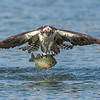 Osprey with Prey