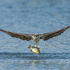 Osprey with a prized bluegill catch