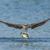 Osprey with a prized bluegill catch