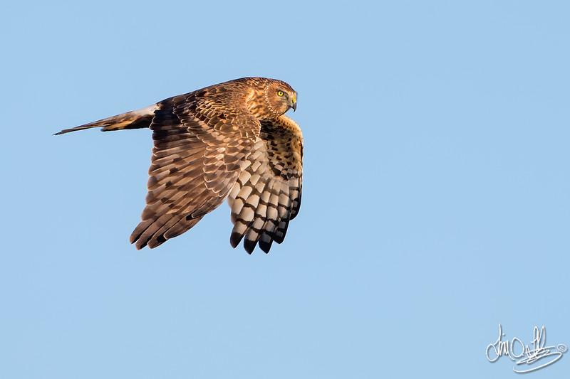 Northern Harrier (female)