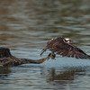 Osprey with a Double-crested Cormorant stealing its catch