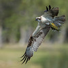 Osprey in-flight with catch