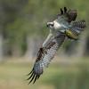 Osprey in-flight with catch