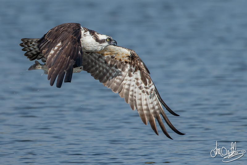 Osprey with a fresh catch