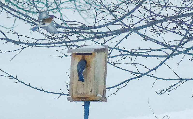 Bluebirds in BLIZZARD, trying to find better shelter from the storm