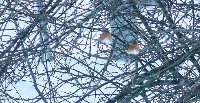Bluebirds huddled against blizzard