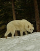 This is an arctic wolf, cousin to the grey wolves shown. Pic taken on a game farm outside Missoula.