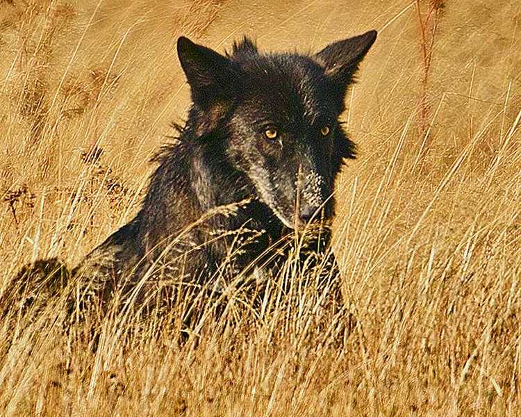 Summer of 2012 Black Wolf in Gibbon Meadows of YNP.