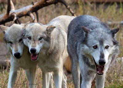 Gray Wolves - pack behavior