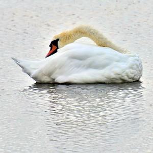 Swan in Ireland