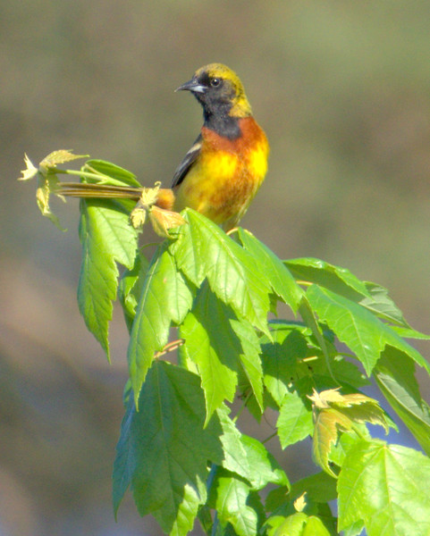 Orchard Oriole?