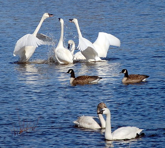 Tundra Swans and Canada Geese