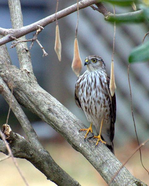Cooper's Hawk?