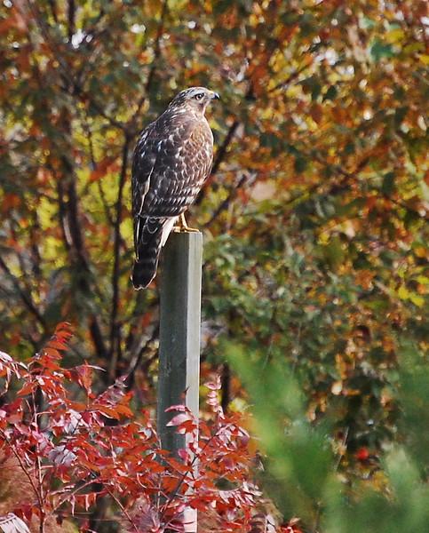 Cooper's Hawk or Sharp-shinned Hawk?