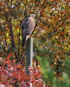 Cooper's Hawk or Sharp-shinned Hawk?