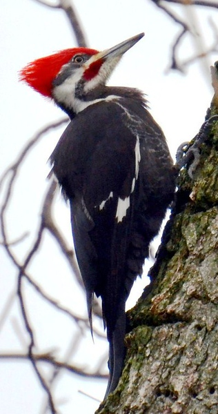 Pileated Woodpecker - Male