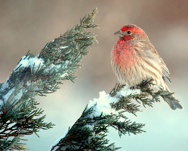 Male House Finch