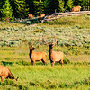 Elk of Yellowstone