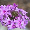 Rose Vervain (Verbina canadensis)