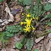 Round-Leaf Ragwort (Senecio obovatus)