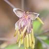 Southern Meadow Rue (Tralictrum debile) male flower