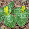 Sweet Betsy (Trillium cuneatum) yellow form