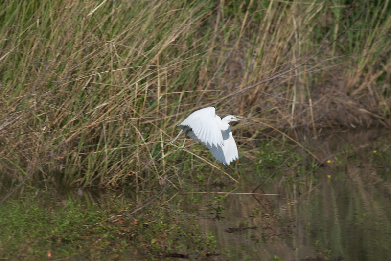 White Morph Little Blue Heron