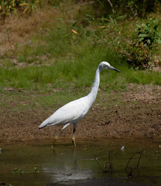 Little Blue Heron  (white morph)