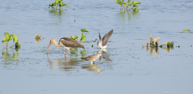 Willet (foreground)  White Ibis (L)  Solitary Sandpiper (R)