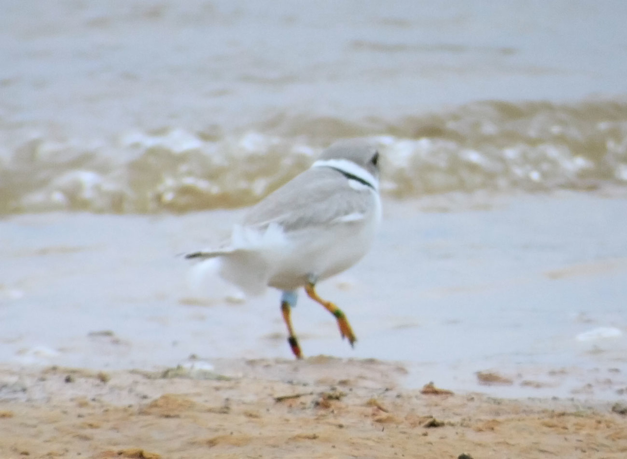 A Banded Piping Plover