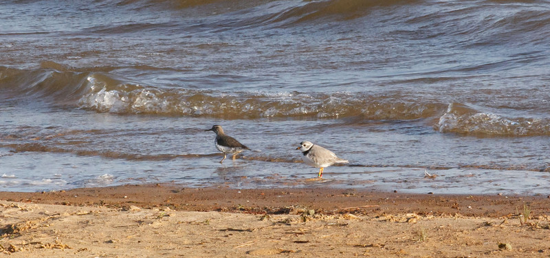 Spotted Sandpiper & Piping Plover