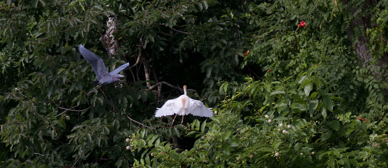 Little Blue Heron & Cattle Egret on a collision course