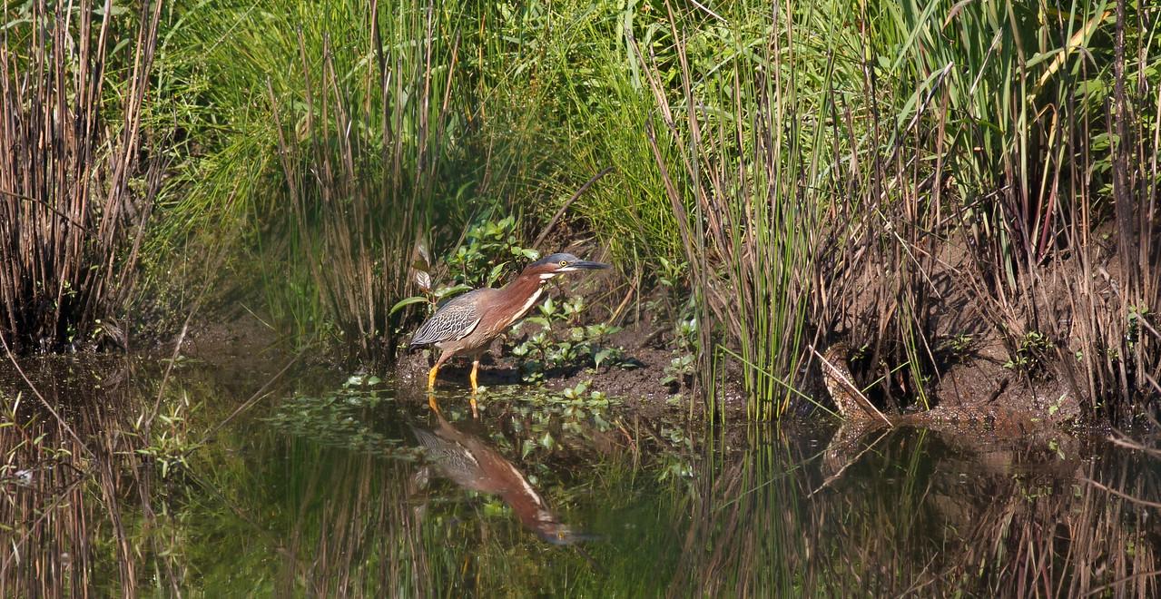 Green Heron walks up on a Diamondbacked Water Snake