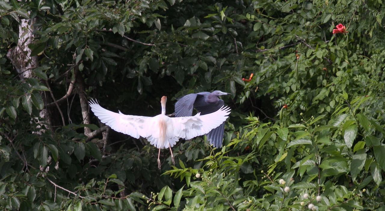 A near miss between a Cattle Egret & Little Blue Heron