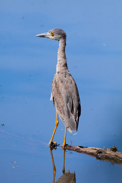 Immature Yellow-crowned Heron