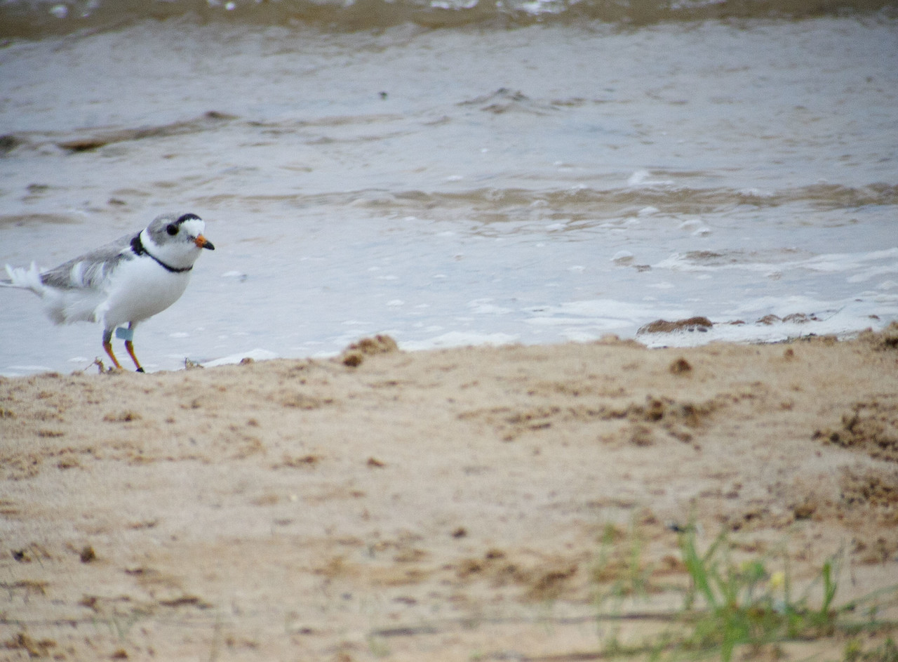 Piping Plover<br /> <br /> Smith County, TX