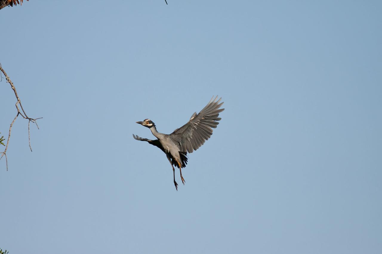 Yellow Crowned Night Heron