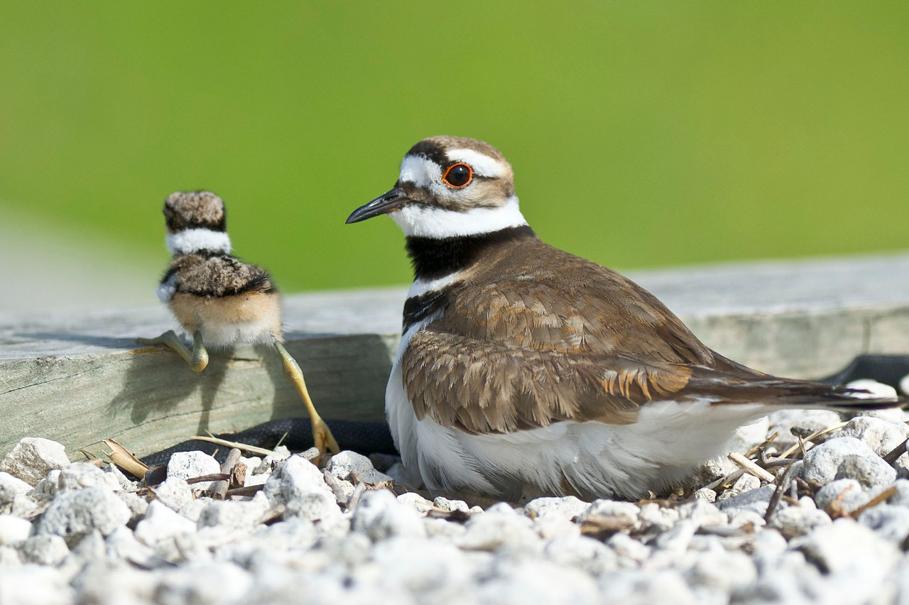 Killdeer's First Steps Lake Marian Kenansville, Florida © 2012