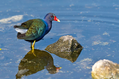 Purple Gallinule Circle B Bar Ranch Lakeland, Florida © 2013