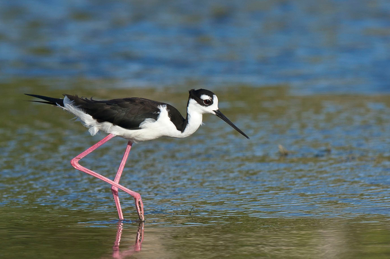 Black-Necked Stilt Eco Pond, Everglades National Park Flamingo, Florida © 2012