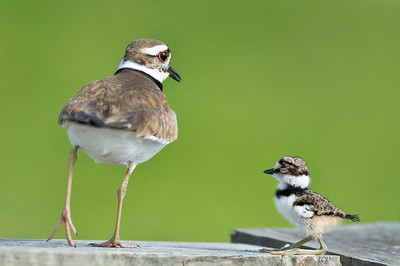 Killdeer Parent & Chick Lake Marion Kenansville, Florida © 2012