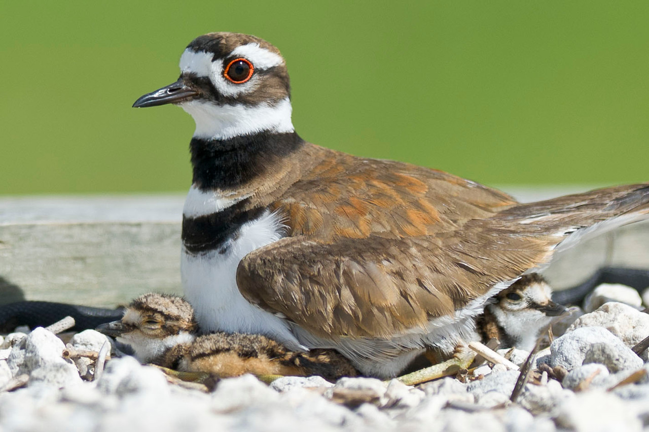 Killdeer Family Lake Marion Kenansville, Florida © 2012