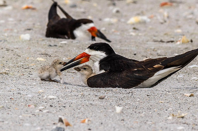 Black Skimmer Parent & Young Indian Rocks Beach Florida © 2013