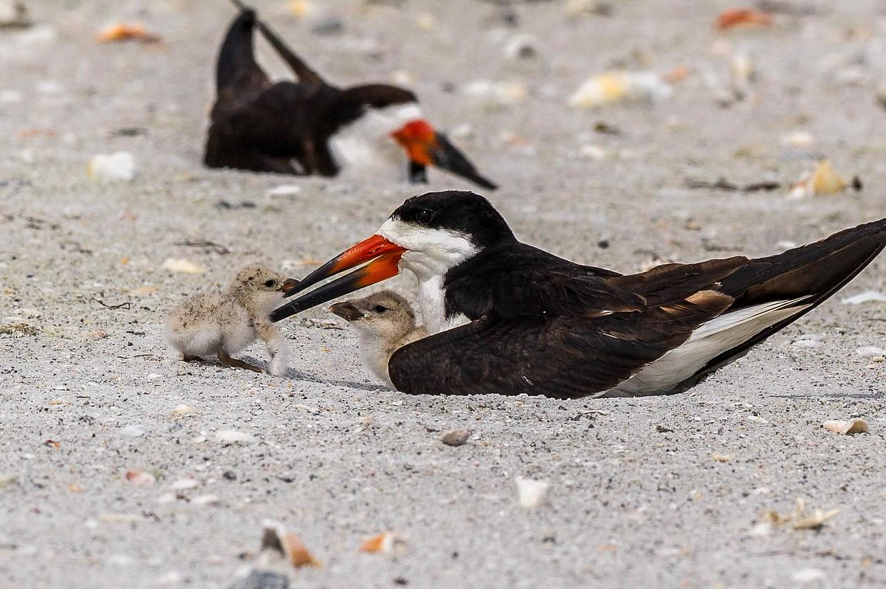 Black Skimmer Parent & Young Indian Rocks Beach Florida © 2013