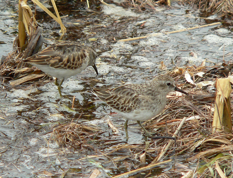 "The ""Least Sandpiper"".  Also seemed the ""least afraid"" of all the birds that day.  As they were feeding, they came nearly to  my feet."