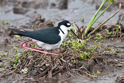 Male Black-Necked Stilt Sitting on Nest with Four Eggs Wakodahatchee Wetlands Delray Beach, Florida © 2013
