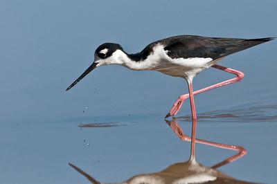 Black-Necked Stilt Eco Pond, Flamingo, Everglades National Park Florida © 2013