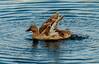 Wailoa State Park Ducks 2.2.14