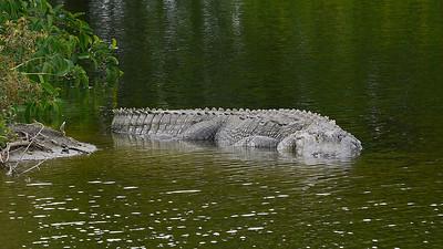 World's biggest Alligator