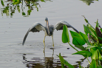 Tri-colored Heron canopy feeding